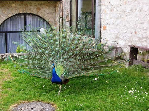 Peacock in Monastery Saint Naum